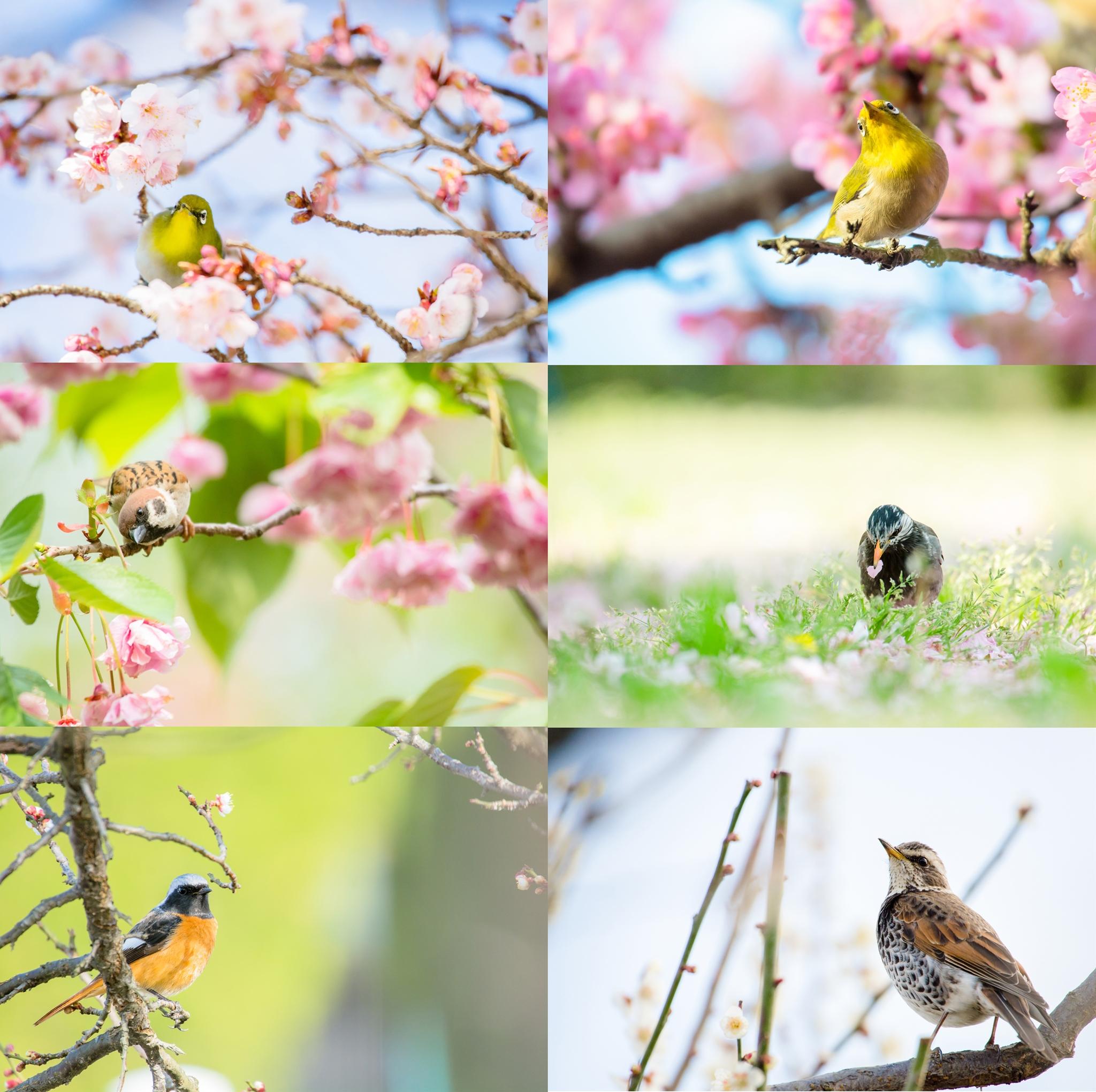 Photo: 「春」 / Spring  写真展『まなざし』出展予定作品より 今回ご紹介させていただくのは 8つの小さなテーマの内の一つ 『春』です。  一年を通して 会いに行っている小鳥たち、 その春のシーンより 6枚選びました。  一年の中で一番華やかな 花咲く季節、 そんな嬉しさ溢れる季節の中で 活き活きとした表情を見せる 小鳥たちを感じていただけたらと思います。  みなさんは どんな春のシーンがお好みでしょうか?  実際に展示ではそれぞれ 色彩を忠実にそして美しく表現してくれるバライタ紙に 空間を品良く演出してくれる額装が施されます。 ふわっとした花の季節 ぜひ足を運んでいただき、 実際にじっくりと見て楽しんでいただけたら幸いです。  ・写真用紙 「キャンソン インフィニティ」 < http://goo.gl/5TqYar >  ・大塩貴文 写真展『まなざし』 2015年11月20日[金]-29日[日] < http://islandgallery.jp/12134 >