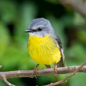 Eastern Yellow Robin by Erica Siegel - Animals Birds ( bird, robin, small  bird, yellow bird, woodland  bird, songbird )
