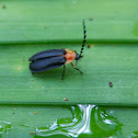 Escarabajo bicolor