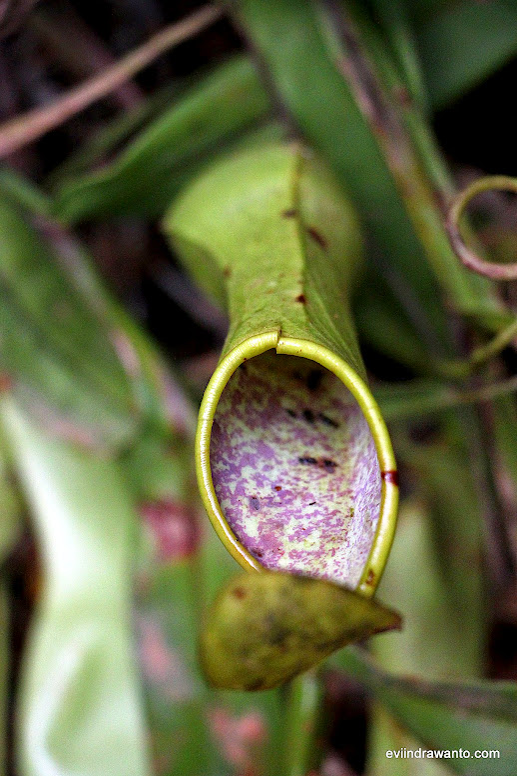 Kantung Semar - Flora Taman Nasional Bukit Barisan Selatan
