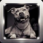 Pitbull Dog Wallpapers