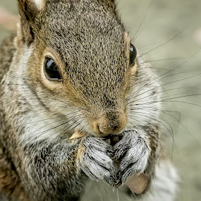Nibbling Squirrel Upclose by Ed Stines - Animals Other Mammals ( furry animal, nature, squirrel, small animal, animal,  )