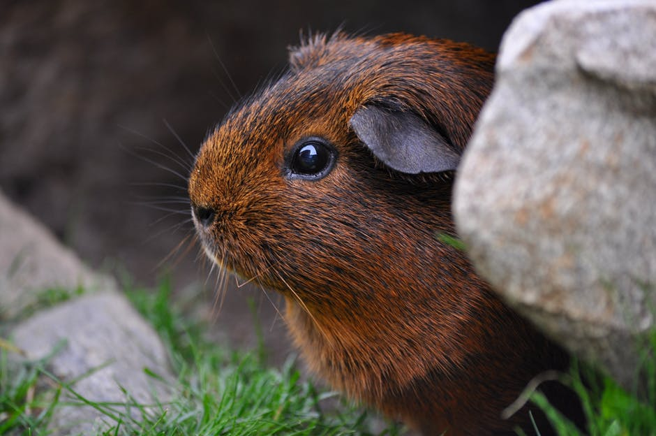 guinea-pig-rodent-cute-eyes-47348.jpeg