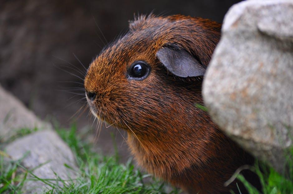 guinea-pig-rodent-cute-eyes-47348.jpeg