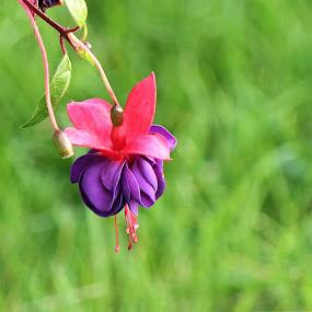 Fuchsia Bell by Michael Velardo - Nature Up Close Flowers - 2011-2013 ( nature, grass, flora, fuchsia, flower,  )