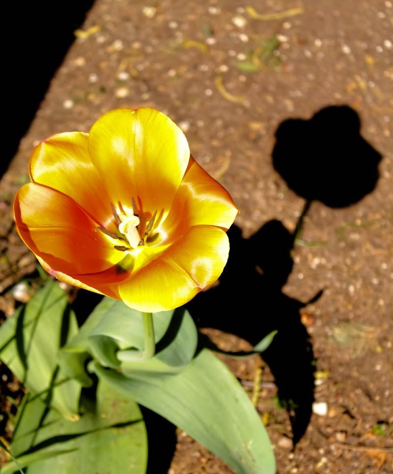 tulipano ombra di Loris Moratti
