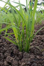 Photo: Photo by Devon Jenkins, 2012/2013, Benin. An SRI rice plant growing in a demonstration plot at the Centre Songhai in Porto Novo.