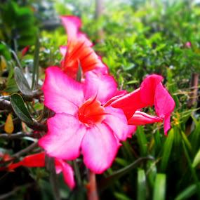 My Red Flower by Jumari Haryadi - Nature Up Close Flowers - 2011-2013