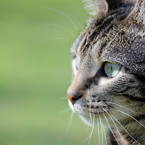 Profile by Julia Nicely - Animals - Cats Portraits ( pose, kitten, cat, portrait, profile )