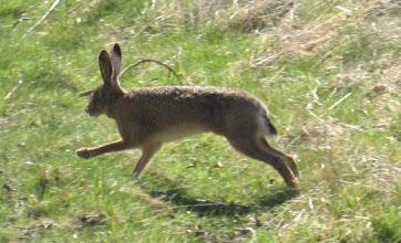 Photo: Hare © Pauline Popely 2015