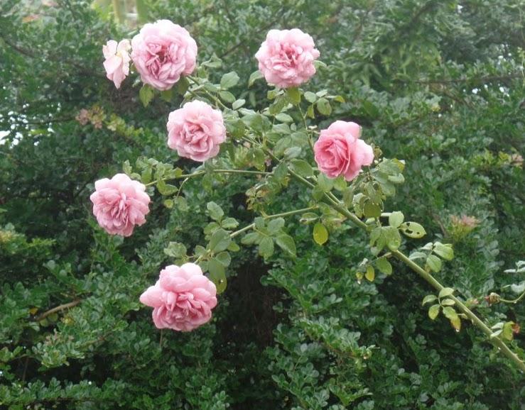 Hồng bụi thường chỉ mọc hoa ở đầu cành