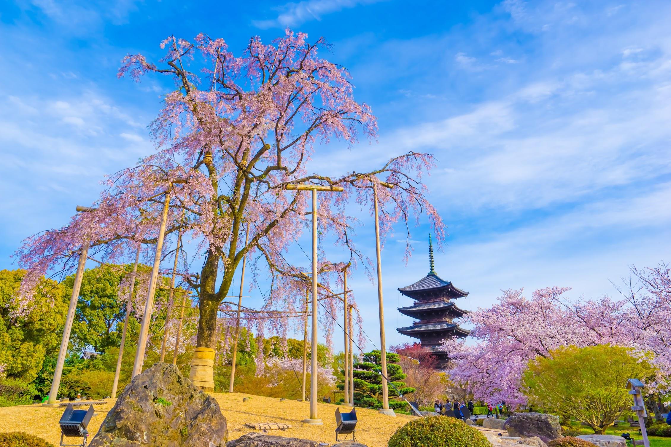 京都 東寺 桜1