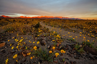 """Photo: Death Valley """"super bloom"""" at sunrise, March 2016.  #deathvalley #superbloom2016 #landscapephotography"""