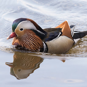 Mandarin Duck by Mats Andersson - Animals Birds ( mandarin duck, reflection, duck, exotic, colorful )