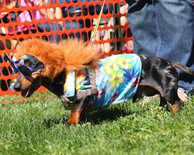Photo: Wiener Dog Fashion Show at Turf Paradise. Photo by Coady Photography