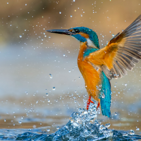 water angel by Riccardo Trevisani - Animals Birds ( riccardo trevisani, wild, kingfisher, wildlife, birds )