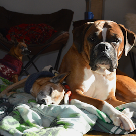 Chilling in the Sunlight by Rob Kovacs - Animals - Dogs Portraits