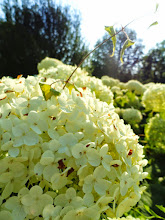 Photo: White puffy flowers in the setting sun at Cox Arboretum in Dayton, Ohio.