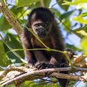 Mantled Howler Monkey (infant)