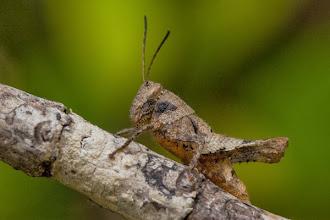 Photo: An interesting looking grasshopper Um gafanhoto de aspecto interessante