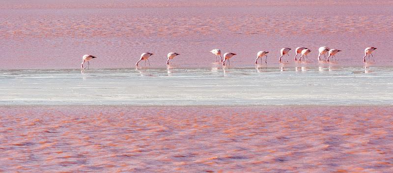 Pink flamingos in a pink lagoon  di laurafacchini
