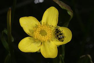 Photo: Diabrotica u. undecimpuntata (Mannerheim, 1843) - Western Spotted Cucumber Beetle on  Ranunculus alismifolius (Geyer, 1849) - Water Plantain Buttercup aka Plantainleaf Buttercup, DHG
