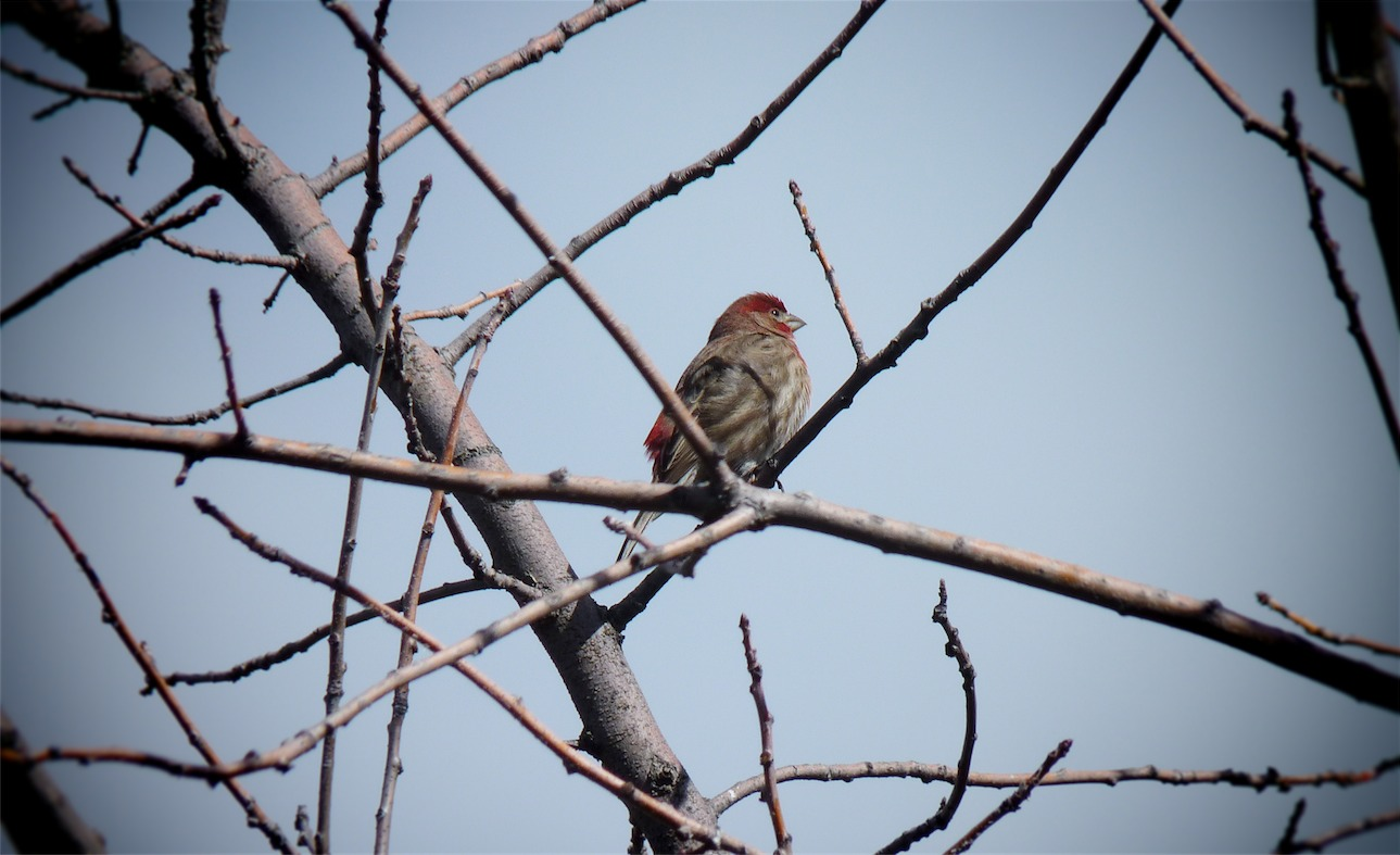 Red Headed Finch?.jpg