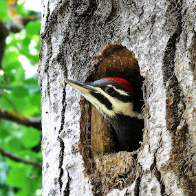 by Gary Colwell - Animals Birds ( piliated, nest, woodpecker, birds )