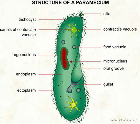 amy b's bio 20 blog: protista diagram of paramecium #8