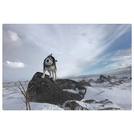 Ronja  by Bjarklind Þór - Animals - Dogs Portraits ( iceland )