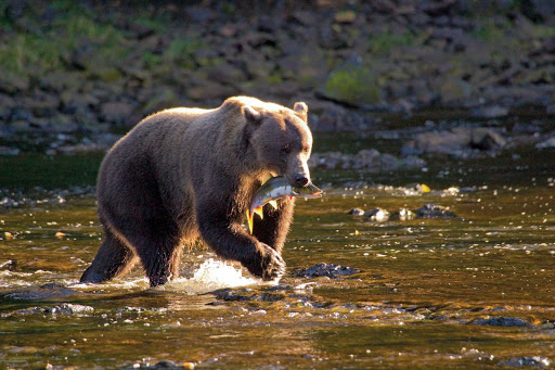 Alaska-Brown-Bear-Salmon.jpg - While on a hike of the Tongass National Forest in Alaska, see a brown bear as it hunts for salmon.