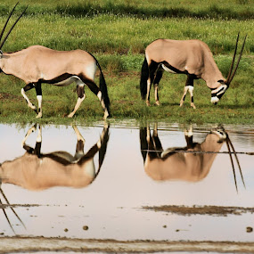 Gembok reflections by Clarissa Human - Animals Other ( gemsbok, herbivores, desert water, reflections, kalahari,  )