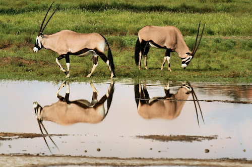 Gembok reflections by Clarissa Human - Animals Other ( gemsbok, herbivores, desert water, reflections, kalahari,  )