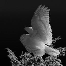 by Steven Liffmann - Black & White Animals ( snowy owl )