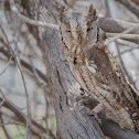 European Scops Owl.