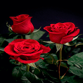 Valentine Red Roses LWP