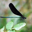 Dark-Winged Damselfly