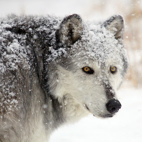 Wild and free. by Brandi Nichols - Animals Other ( lobo, winter, gray wolf, nature, wolf, parks, yellowstone national park, wolves, canis lupus,  )