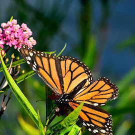 Summer's End by Jennifer Schmidt - Animals Insects & Spiders ( close up, macro, monarchs, butterflies, nature, insects, wildlife,  )