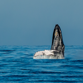 by Keith Sutherland - Uncategorized All Uncategorized ( hhumpback whale     maui )
