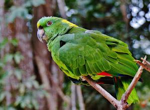 Photo: Amazone (ähnlich der Gelbscheitelamazone, Amazona ochrocephala ochrocephala) Aufgenommen im Freigehege des Macaw Mountain Bird Park in Copán.