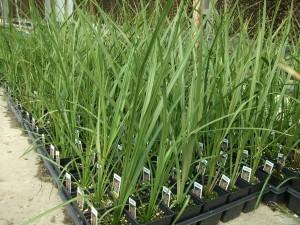 :Plant Images:Dracaena Spike.jpg
