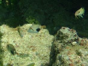 Photo: Corythoichthys flavofasciatus (Juvenile Bursa Triggerfish), Siquijor Island, Philippines