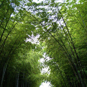 Bamboo forest by Won Yee Ong - Landscapes Forests ( bamboo )