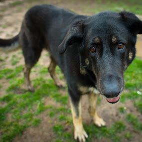 Just Bo by Matt LaCorte - Animals - Dogs Portraits
