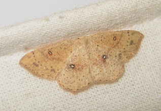 Photo: Cyclophora porata    Lepidoptera > Geometridae