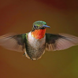 Check out my wings! by Anthony Goldman - Animals Birds ( wingd, bird, florida., nature, male, action, wildlife, ruby thraot, valrico, humming bird,  )