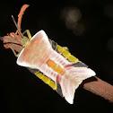 Giant Shield Stink Bug Nymph