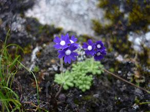Photo: サクラソウ科 サクラソウ属 プリムラ プリムリナ(濃紫)