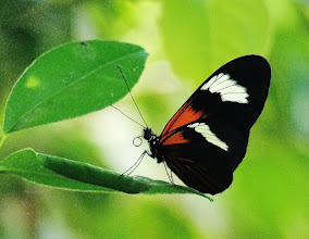 Photo: Kleiner Kurier (Heliconius erato lativitta, engl. Red Postman).